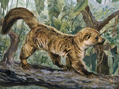 Eastern Lowland Olingo (Bassaricyon Alleni), Procyonidae--Giclee Print