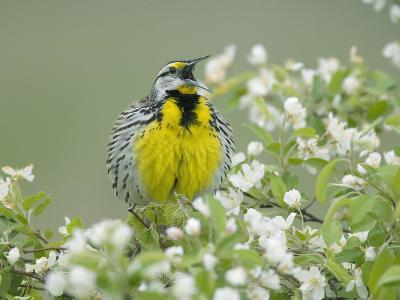 Eastern Meadowlark (Sturnella Magna) Singing-Steve Maslowski-Photographic Print