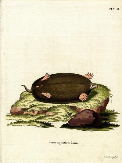 Eastern Mole--Giclee Print