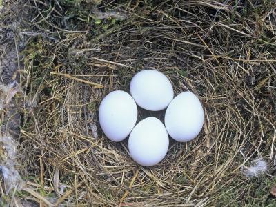 Eastern Phoebe Nest with Four Eggs (Sayornis Phoebe), Eastern North America-Wally Eberhart-Photographic Print