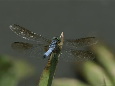 Eastern Pondhawk Skimmer Resting on a Leaf with its Wings Spread-Brian Gordon Green-Photographic Print