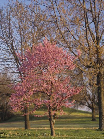 Eastern Redbud Tree, Cercis Canadensis, in Full Bloom, Eastern North America-Adam Jones-Photographic Print