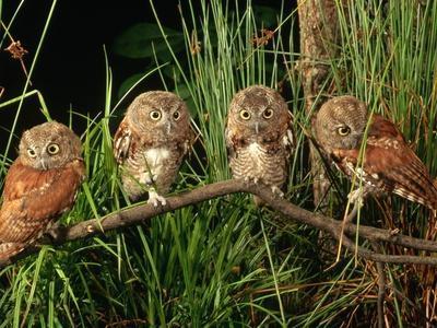 https://imgc.artprintimages.com/img/print/eastern-screech-owl-fledglings_u-l-pzlspb0.jpg?artPerspective=n
