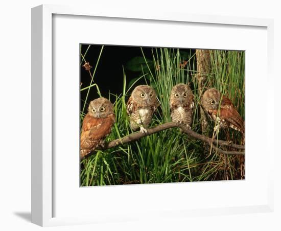 Eastern Screech Owl Fledglings-Joe McDonald-Framed Photographic Print