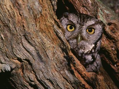 Eastern Screech Owl, Otus Asio, North America-Charles Melton-Photographic Print