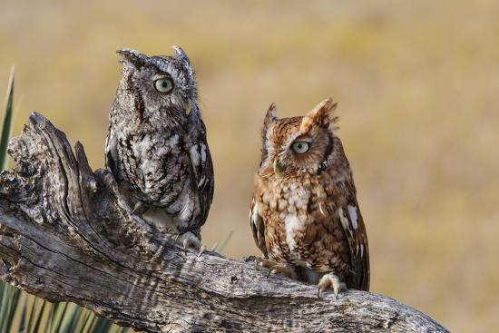 Eastern Screech Owl, Otus Asio, roosting in tree-Larry Ditto-Premium Photographic Print