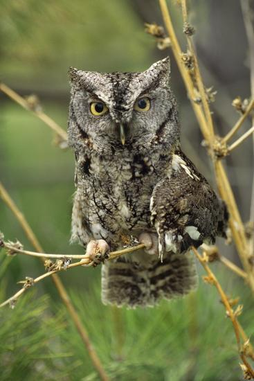Eastern Screech Owl with a Drooping Wing, British Columbia, Canada-Tim Fitzharris-Photographic Print
