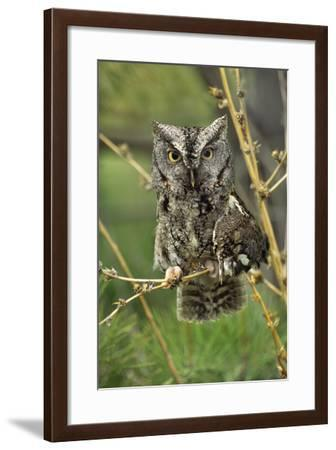 Eastern Screech Owl with a Drooping Wing, British Columbia, Canada-Tim Fitzharris-Framed Photographic Print