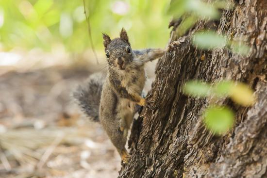 Eastern Sierra Nevada. an Inquisitive Douglas Squirrel or Chickaree-Michael Qualls-Photographic Print