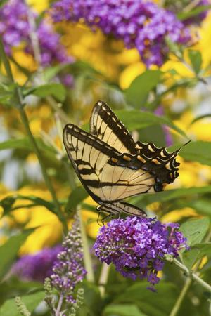Eastern Tiger Swallowtail Butterfly on Butterfly Bush, Marion Co., Il-Richard ans Susan Day-Photographic Print