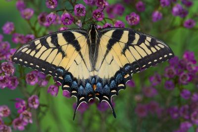 Eastern Tiger Swallowtail Butterfly-Darrell Gulin-Photographic Print