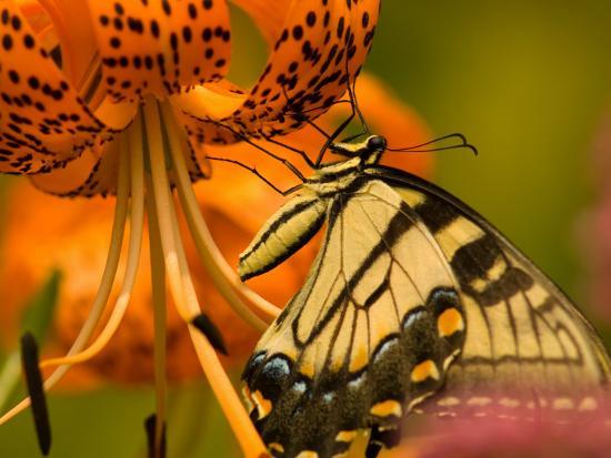 Eastern Tiger Swallowtail Butterfuly Feeding on Orange Tiger Lily, Vienna, Virginia, USA-Corey Hilz-Photographic Print