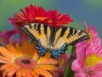 https://imgc.artprintimages.com/img/print/eastern-tiger-swallowtail-female-on-gerber-daisies-sammamish-washington-usa_u-l-p3x4e90.jpg?p=0