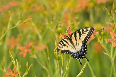 Eastern Tiger Swallowtail on Blackberry Lily, Marion Co. Il-Richard ans Susan Day-Photographic Print
