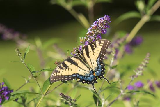 Eastern Tiger Swallowtail on Butterfly Bush, Illinois-John & Lisa Merrill-Premium Photographic Print