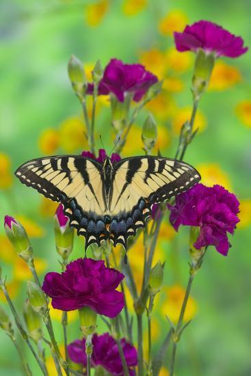 Eastern Tiger Swallowtail-Darrell Gulin-Photographic Print