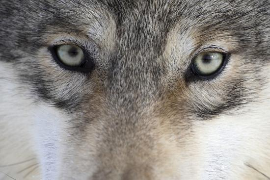 Eastern Timber Wolf, Canis Lupus Lycaon, Close-Up-Ronald Wittek-Photographic Print