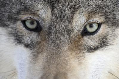 https://imgc.artprintimages.com/img/print/eastern-timber-wolf-canis-lupus-lycaon-close-up_u-l-q11w8f70.jpg?p=0