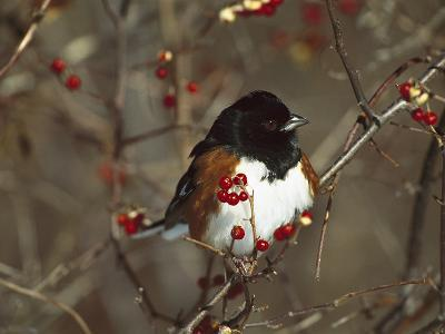 Eastern Towhee (Pipilo Erythrophthalmus) Male Perched in Bittersweet Bush, Long Island, New York-Tom Vezo/Minden Pictures-Photographic Print