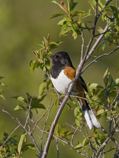 Eastern Towhee (Pipilo Erythrophthalmus) on a Branch in Ontario, Canada-Glenn Bartley-Photographic Print