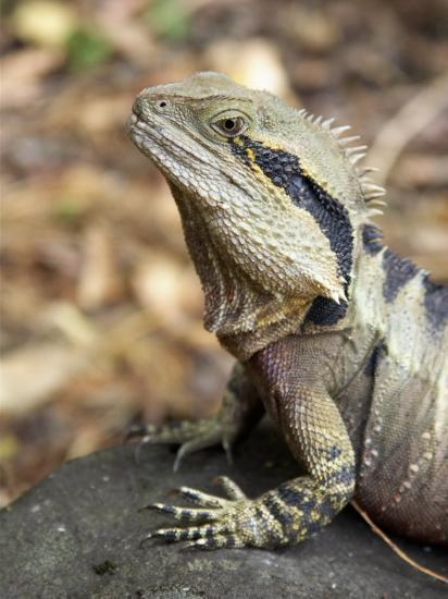 Eastern Water Dragon, Australia-David Wall-Photographic Print
