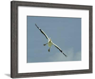 Eastern White Pelican in Flight-Klaus Nigge-Framed Photographic Print