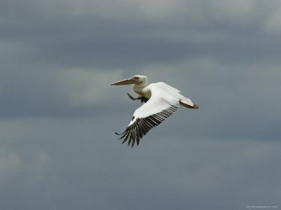 Eastern White Pelican in Flight-Klaus Nigge-Photographic Print