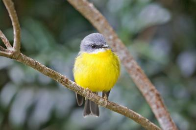 Eastern Yellow Robin, Australia-Howard Ruby-Photographic Print