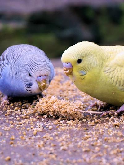 Eating Budgie Bird Wildlife-Wonderful Dream-Art Print