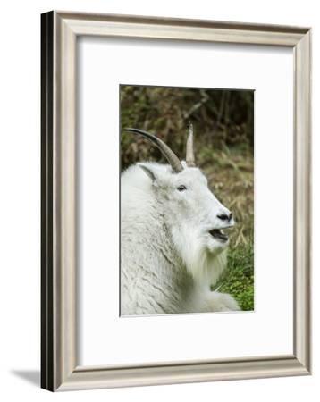 Eatonville, WA. Mountain goat resting and vocalizing in Northwest Trek Wildlife Park.-Janet Horton-Framed Photographic Print