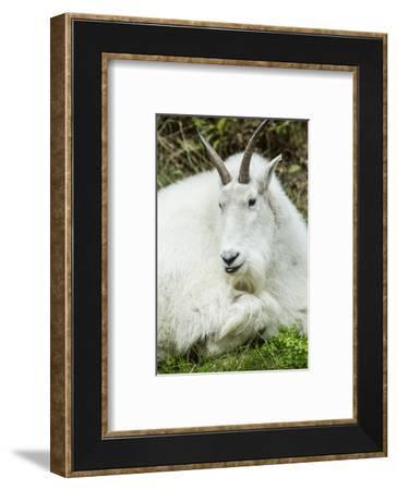 Eatonville, WA. Mountain goat resting in Northwest Trek Wildlife Park.-Janet Horton-Framed Photographic Print