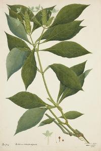 Ecbolium Viride (Farsk) Alston, 1800-10