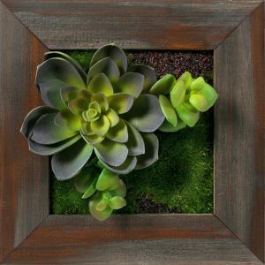 Echeveria Double Jade Square - Grayson Mahogany