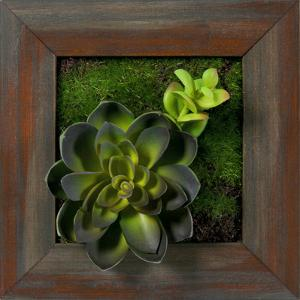 Echeveria Single Jade Square - Grayson Mahogany