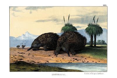 Echidna, 1860--Giclee Print