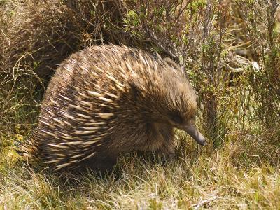 Echidna, Tasmanian Variety-Grant Dixon-Photographic Print