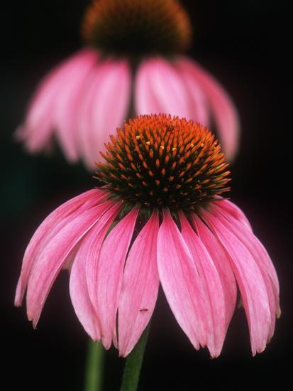 Echinacea Plant--Photographic Print