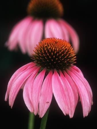 https://imgc.artprintimages.com/img/print/echinacea-plant_u-l-pzljg40.jpg?p=0