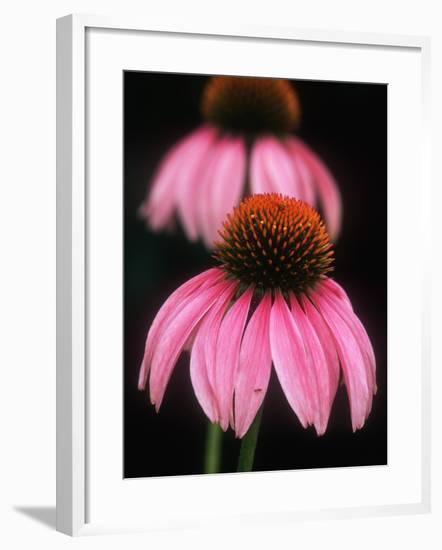 Echinacea Plant--Framed Photographic Print