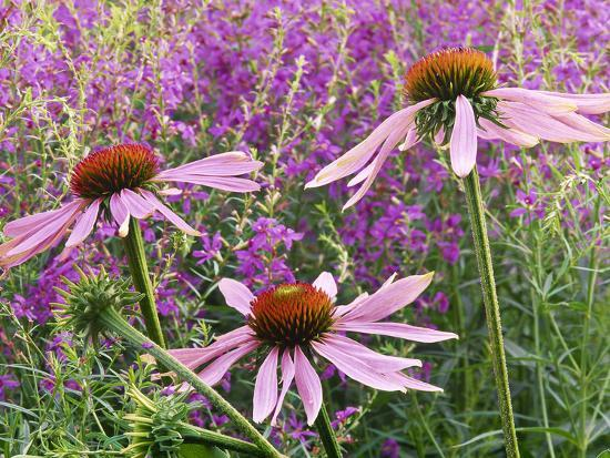 Echinacea Purpurea Magnus and Lythrum Virgatum (Purple Conflower and European Wand Loosestrife)-Michael Davis-Photographic Print