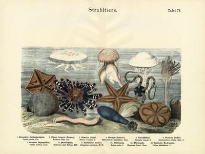 Echinoderms, C.1860
