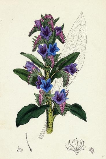 Echium Vulgare Common Viper's-Bugloss--Giclee Print