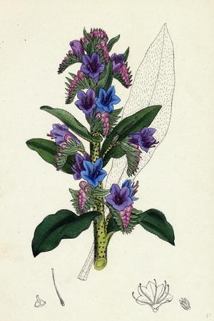 https://imgc.artprintimages.com/img/print/echium-vulgare-common-viper-s-bugloss_u-l-pvfr940.jpg?p=0