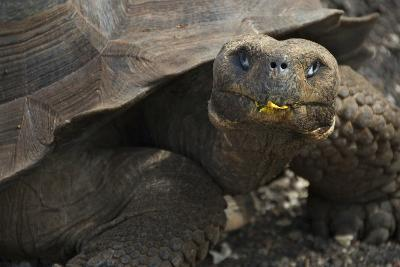 Ecuador, Galapagos. Fe Giant Tortoise at Charles Darwin Station-Jaynes Gallery-Photographic Print