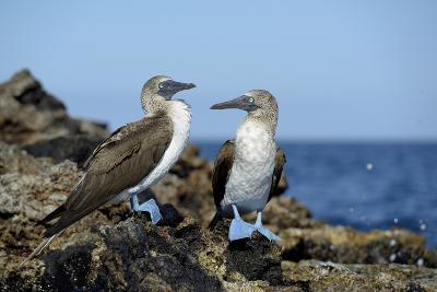 Ecuador, Galapagos, Isabela Island, Punta Moreno. Blue-Footed Booby-Kevin Oke-Photographic Print