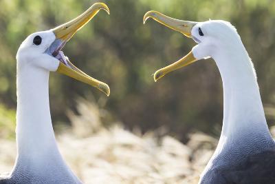 Ecuador, Galapagos Islands, Espanola, Punta Suarez,. Waved Albatrosses Interacting-Ellen Goff-Photographic Print
