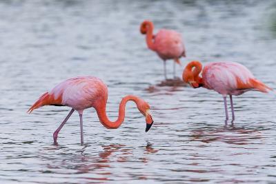 Ecuador, Galapagos Islands, Floreana, Punta Cormoran, Greater Flamingo Feeding-Ellen Goff-Photographic Print