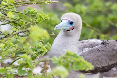 Ecuador, Galapagos Islands, Genovesa, Darwin Bay Beach, Red-Footed Booby Perching in Foliage-Ellen Goff-Photographic Print