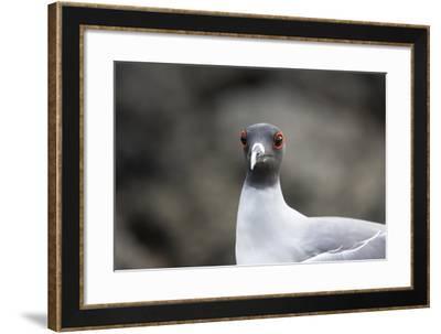 Ecuador, Galapagos Islands, Genovesa, Darwin Bay Beach. Swallow-Tailed Gull Portrait-Ellen Goff-Framed Photographic Print