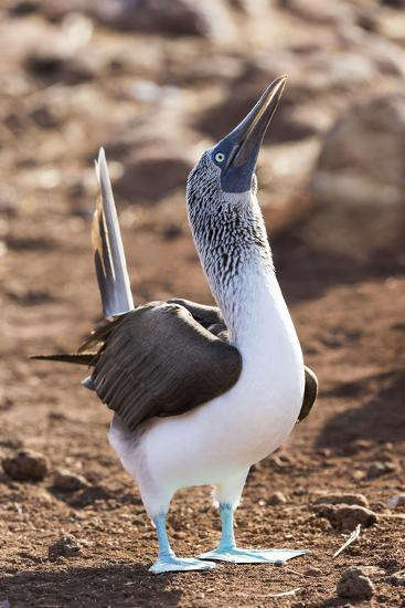 Ecuador, Galapagos Islands, North Seymour Island. Blue-Footed Booby Displaying-Ellen Goff-Photographic Print
